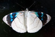https://flic.kr/p/kfr2WT | Perisama bomplandii velasteguii | Ecuador: Napo, Cosanga, Yanayacu Biological Station