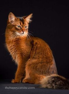 Somali cats are another contender in our search for the best cat breeds for children