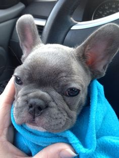 8 Best Puyallup French Bulldogs images in 2015 | French