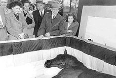 Man o' War in his coffin.  It was rumored that Man o' War grieved himself to death.  After groom Will Harbut's death, the spark went out of the horse.  He died just 4 weeks later on November 1, 1947 at the age of 30 of an apparent heart attack.  He was the first horse to be embalmed, and his casket was lined in his riding colors.  Man o' War's funeral was broadcast internationally over the radio and over 2,000 people came to pay their final respects.  Thousands more sent their condolences.