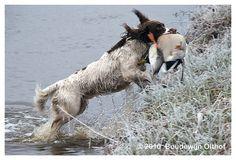 Springer Spaniel Hunting | photo