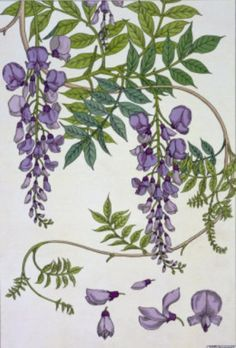 size: Giclee Print: Botanical Diagram of Glycine Wall Art by Eugene Grasset by Eugene Grasset : Entertainment Nature Illustration, Floral Illustrations, Botanical Flowers, Botanical Prints, Art Floral, Watercolor Flowers, Watercolor Art, Eugene Grasset, Impressions Botaniques