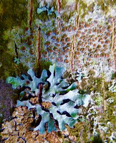 Lichen on tree bark... Photo by Lilian Busch
