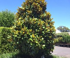 Gardens great and small can benefit from trees: for providing shade, a habitat to native birds and their positive contribution to the environment. Here are 5 fast growing shade trees in Australia and how to grow them. Backyard Trees, Garden Trees, Garden Paths, Coastal Gardens, Small Gardens, Hedges Landscaping, Fast Growing Shade Trees, Wind Break, Small Trees
