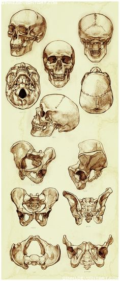 Skull and Pelvis Study by *Qinni on deviantART