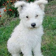 Pumi | 21 Awesome Dog Breeds You've Never Heard Of And Need To Know About Immediately