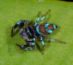 Shiny blue jumping spider (perhaps Thiania bhamoensis) | Flickr - Photo Sharing!