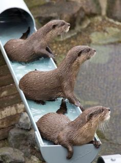 Otters on a water slide!