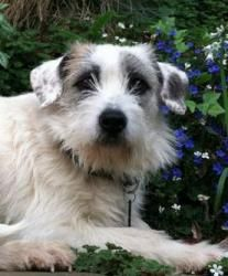 Dorothy is an adoptable Jack Russell Terrier Dog in Cupertino, CA. Dorothy is an 8-month old mixed breed we're rescuing from Glenn County. This poor girl came from a hoarding situation, but despite th...