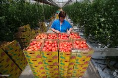 A farm worker arranges boxes of freshly picked tomatoes in a greenhouse at the Yuzhny Agricultural Complex, operated by AFK Sistema, in Ust-Dzheguta, Russia, on Wednesday, May 18, 2016. The plump hybrid tomatoes, named for the fearsome tank that helped trounce Hitler, are the pride of the Yuzhny Agricultural Complex, a mass of greenhouses the size of 2,300 football fields between the Black and Caspian seas. Photographer: Andrey Rudakov/Bloomberg via Getty Images