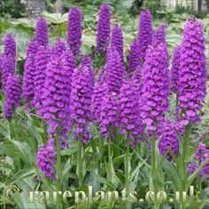 Orchid: Dactylorhiza elata