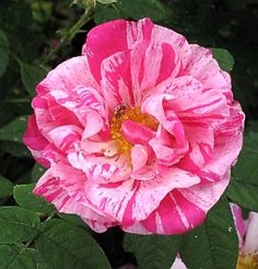 "Rosa Mundi - officially called R. gallica versicolor - a Species Rose (once blooming per season), pink blend, semi-double, before 1581, rated 9.0 (outstanding) by ARS.  Bush size ranges from 2ft to 20 ft.  Often referred to as a ""wild rose""."