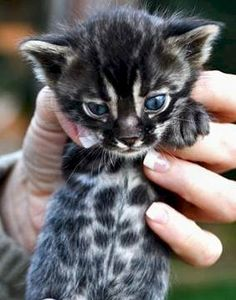 charcoal bengal cat - Google Search