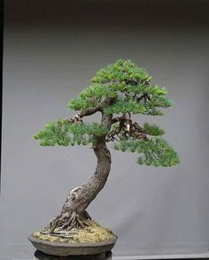 Best Bonsai Planter Ideas For Your Interior Design 58 Pine Bonsai, Juniper Bonsai, Bonsai Art, Bonsai Plants, Bonsai Garden, Terraria Tips, Bonsai Styles, Indoor Bonsai, Flora
