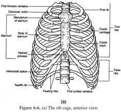 Appendicular Skeleton Labeling Worksheet Worksheet