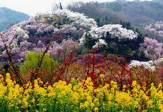 花見山の桜の風景