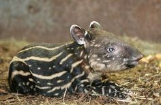 The Czech Republic's Prague Zoo celebrated the birth of a Malayan Tapir on November 6.  Born to mother Ivana, the male baby is only the second Tapir ever born in the history of the zoo.