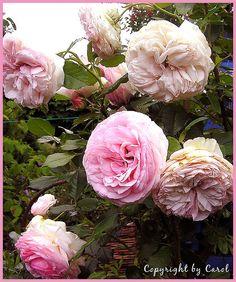 Eden rose in June 2008