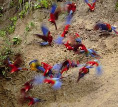 A Pandemonium of Parrots by Timothy Devane: 3 species of Macaws (Blue/Yellow, Scarlet and Red/Green) on Sejali Clay Lick ~ Mishagua River, Peru. Macaws congregate to ingest clay rich in minerals and possibly to neutralize toxins of fruits and seeds they eat.