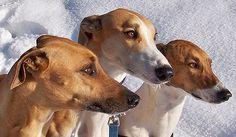 Magyar Agars Magyar Agar, Greyhounds, Dogs, Dog Breeds, Animales, Pet Dogs, Doggies