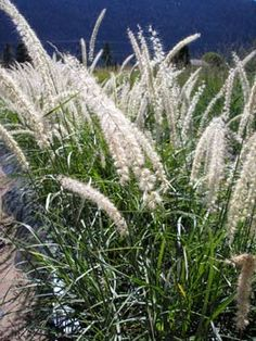 1000 images about oriental on pinterest grasses for Tall oriental grass
