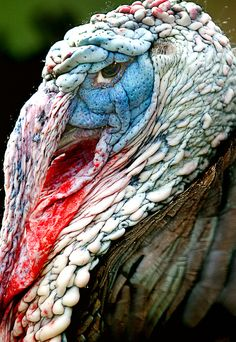 """wild turkey - If you've ever seen the PBS """"Nature"""" special: """"My Life as a Turkey"""" you'll have a new appreciation for why Benjamin Franklin wanted this guy to be a national bird. They so smart and brave and enjoy playing with forest creatures. Pretty Birds, Beautiful Birds, Animals Beautiful, Animal Original, Animals And Pets, Cute Animals, Wild Turkey, Turkey Bird, Tom Turkey"""