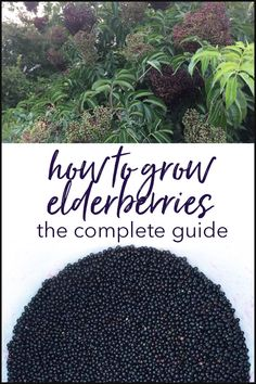 Edible garden 232428030755259113 - How to Grow Elderberries – The Complete Guide: Growing elderberry trees for their edible and medicinal berries and flowers is surprisingly easy. Here's a step-by-step guide to show you how. Source by tyrantfarms Fruit Garden, Garden Soil, Edible Garden, Herbs Garden, Garden Art, Elderberry Growing, Elderberry Plant, Elderberry Syrup, Elderberry Recipes