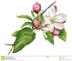 Watercolor with apple tree in blossom, apple tree pupils watercolor drawing, blossom apple tree painting Illustration Botanique, Tree Illustration, Botanical Illustration, Watercolor Illustration, Pine Tattoo, Watercolor Rose, Watercolor Drawing, Apple Tree Drawing, Apple Blossom Tattoos