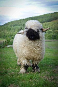Blacknose Sheep Valais Blacknose Sheep, Sheep Breeds, Change Image, Beautiful Islands, Farm Life, Cute Animals, Wales, Britain, Scotland