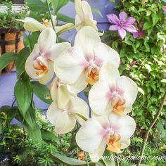 Love orchids but afraid that they're too hard to grow? They're not! Click here to see 7 surprising things you didn't know about caring for orchids.