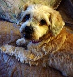 Ginger is an adoptable Shih Tzu Dog in Crompond, NY. Ginger is a 5 - 6 yr. old super sweet Shih Tzu/Mini Poodle Mix girl. �She weighs about 10 lbs., and is very playful. �She will play Fetch for hours...