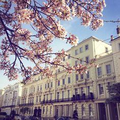 Cherry blossom, Notting Hill