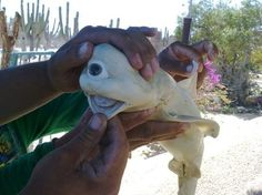 Cyclops of the Sea: Pictures of a One-Eyed Shark | Embryonic Albino One-Eyed Shark | Sharks, Marine Life & Oceans