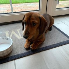 Dachshund Breed, Wire Haired Dachshund, Unique Animals, Adorable Animals, Best Puppy Food, Miniature Dachshunds, Best Puppies, The Perfect Dog, Dog Videos