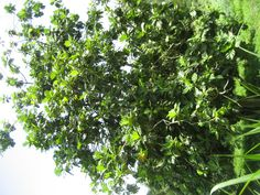 The breadfruit tree. Photo by: Angela V.