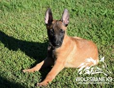 Belgian Malinois Puppies For Sale @ Wolfsbane K9.