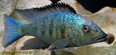 Creative Gifts For Photographers [It doesn't have to be costly] Malawi Cichlids, African Cichlids, Life Under The Sea, Freshwater Aquarium Fish, Gifts For Photographers, Water Life, Pets, Underworld, Aquariums