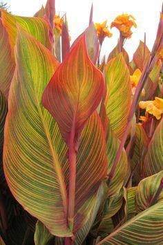 10 plants you can't kill image Canna Tropicana The hot, bright colours of Cannas lend themselves well to bold, tropical plantings. Even when not in flower, their foliage lights up the garden bed. Canna indica is a weed in some areas, so don't plant i Tropical Garden Design, Tropical Backyard, Backyard Plants, Backyard Garden Design, Tropical Landscaping, Landscaping Plants, Outdoor Plants, Tropical Plants, Tropical Flowers