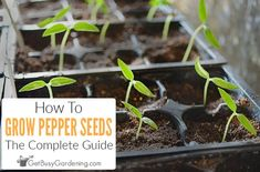 Growing peppers from seed is easy once you know how. Learn everything you need to be successful, from sowing to transplanting, in this step-by-step guide. Growing An Avocado Tree, Growing Spinach, Growing Lettuce, Growing Veggies, When To Transplant Seedlings, Growing Seedlings, Growing Seeds, Cucumber Seeds, Backyard Farming