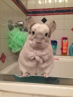 This chinchilla gearing up for bath time. | 41 Pictures For Anyone Who's Just Bummed Out