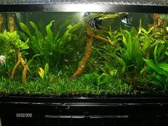 Grow and Care for Jungle Vallisneria Fish (freshwater) and aquarium ...