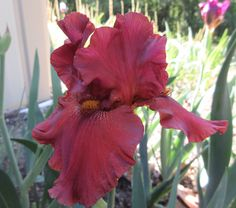 BEARDED IRIS - RED HOT MAMMA. This year we had some good increase so we should have a few pots for sale next spring. #iris
