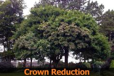 Sycamore Crown Reduction