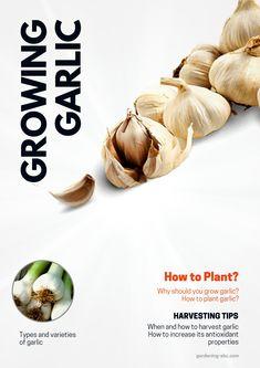 Organic Garlic, Grow Organic, Organic Gardening, Gardening Tips, Best Insect Repellent, Harvesting Garlic, Planting Garlic, Growing Ginger, Container Gardening Vegetables