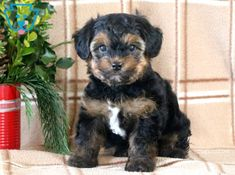 Timber | Morkie Puppy For Sale | Keystone Puppies  #Morkie #KeystonePuppies