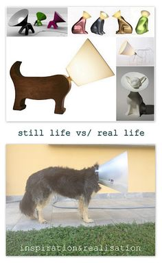 inspiration and realisation: still life vs/ real life... dog in a cone