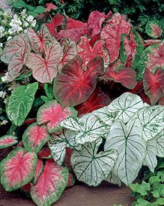 Van Zyverden Caladiums- Fancy Leaf Mixed - Set of 12 Bulbs Van Zyverden http://www.amazon.com/dp/B01AYCKT90/ref=cm_sw_r_pi_dp_rqHWwb0G00Z68