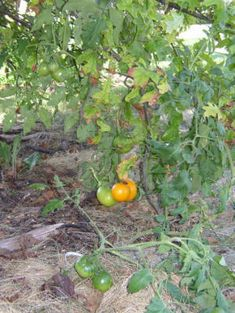 Other permaculture guild possibilities:  tomatoes under a tree (they may like a bit of shade surprisingly then twine up the tree, and have fairly deep roots)