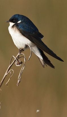 Golondrina chilena - Chilean Swallow - Chileschwalbe - Hirondelle du Chili Pretty Birds, Beautiful Birds, Fat Bird, Sparrow Bird, Conure, Nature Animals, Wild Birds, Bird Art, Bird Feathers