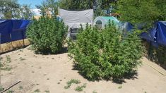 Cannabis/Information Home Made Fertilizer, Fertilizer For Plants, List Of Nutrients, Things To Know, Things To Come, Golden Tree, Grow Tent, Marijuana Plants, Cannabis Growing